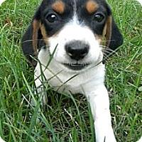 Adopt A Pet :: Farruca - Novi, MI