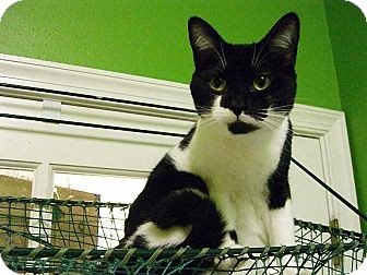 Domestic Shorthair Cat for adoption in Jupiter, Florida - Winter