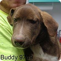 Adopt A Pet :: Buddy - baltimore, MD