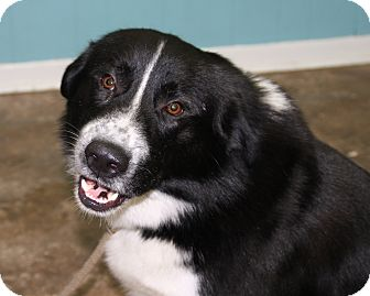 Karelian bear dog border collie mix - photo#28