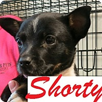 Adopt A Pet :: Shorty - Clear Lake, IA