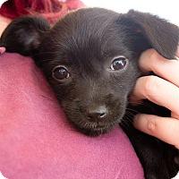 Adopt A Pet :: Sara - Marina del Rey, CA
