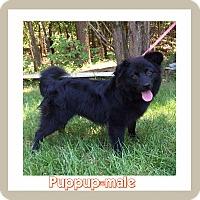Adopt A Pet :: Puppup (POM dc) - Plainfield, CT