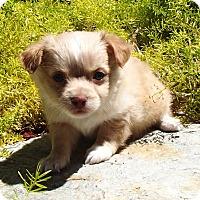 Adopt A Pet :: Kemo - La Habra Heights, CA