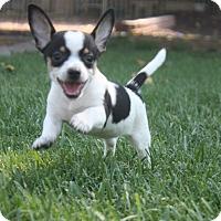 Adopt A Pet :: Marlow - Henderson, NV