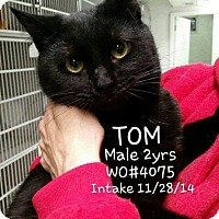Domestic Shorthair Cat for adoption in Fayetteville, West Virginia - Tom