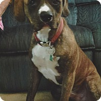 Boxer/Beagle Mix Dog for adoption in Brooksville, Florida - Lucky