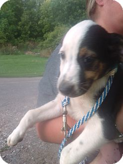 Shepherd (Unknown Type) Mix Puppy for adoption in Kendall, New York - Levey