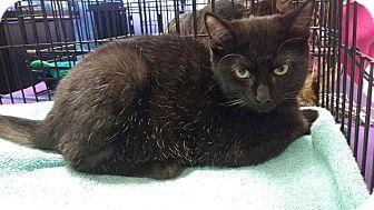 Domestic Shorthair Kitten for adoption in Seminole, Florida - Jasmine