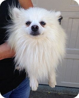 Pomeranian Dog for adoption in Temecula, California - Elliot