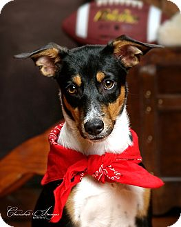 Rat Terrier/Border Collie Mix Puppy for adoption in Lincoln, Nebraska - Winston