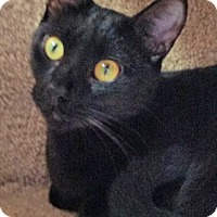 Adopt A Pet :: Nightshade - Fairfax, VA