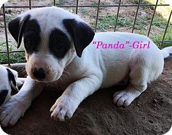 Pointer/Shepherd (Unknown Type) Mix Puppy for adoption in Quinlan, Texas - Cherokee's Babies - Girls
