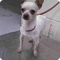 Chihuahua Dog for adoption in Conroe, Texas - PEANUT