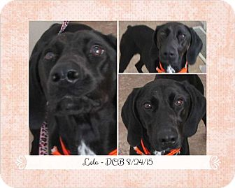 German Shorthaired Pointer Mix Dog for adoption in Clear Lake, Iowa - Lola