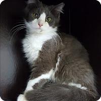 Adopt A Pet :: Berlioz - Albemarle, NC