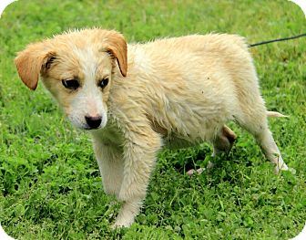 Border Collie/Australian Shepherd Mix Puppy for adoption in Staunton, Virginia - Hogan