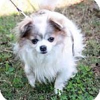 Adopt A Pet :: Sammi - Brattleboro, VT
