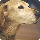Adopt A Pet :: Rascal (Golden)