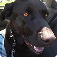 Adopt A Pet :: Louie - Torrance, CA