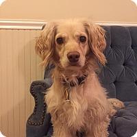 Adopt A Pet :: Izzy - Alpharetta, GA