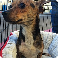 Adopt A Pet :: Chance - Encino, CA