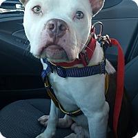 Adopt A Pet :: Stitch - Charlotte, NC