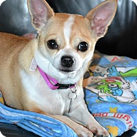Adopt A Pet :: *Miss Peanut - PENDING - Westport, CT