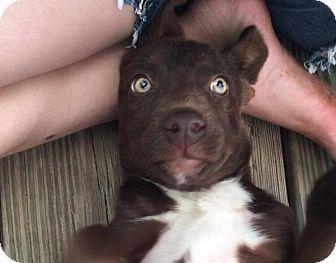 Labrador Retriever/Australian Kelpie Mix Puppy for adoption in Vass, North Carolina - Twixie