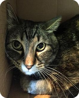 Domestic Shorthair Cat for adoption in Fort Collins, Colorado - Jinx