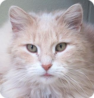 Domestic Mediumhair Cat for adoption in Jefferson, Wisconsin - Lion - Adoption Fee Paid!