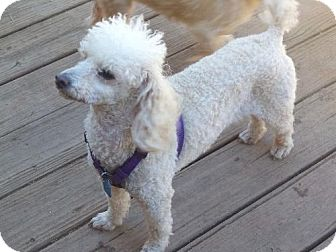 Poodle (Miniature) Dog for adoption in Anderson, South Carolina - TOBY