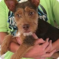 Adopt A Pet :: Teddy - Foster, RI
