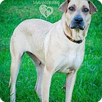 Adopt A Pet :: Nala - Newport, KY