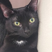 Domestic Shorthair Cat for adoption in Walnut Creek, California - Poppy