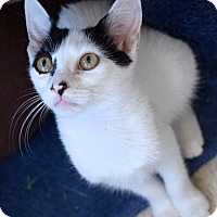 Domestic Shorthair Kitten for adoption in Island Park, New York - Daisy May