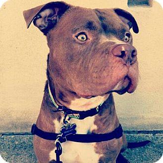 Pit Bull Terrier Dog for adoption in Dallas, Texas - Brad Pitt