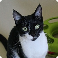 Domestic Shorthair Cat for adoption in Studio City, California - Fab Felicia