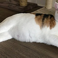 Adopt A Pet :: Cinnamon - Tampa, FL