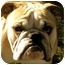 Photo 1 - English Bulldog Dog for adoption in Gilbert, Arizona - Uno*adoption pending!*