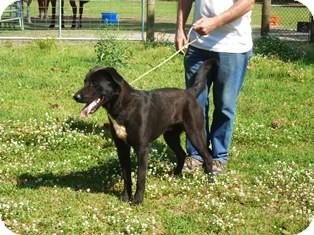 Labrador Retriever Mix Dog for adoption in Slidell, Louisiana - Buford