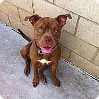 Adopt A Pet :: CINNAMON - COURTESY - Los Angeles, CA