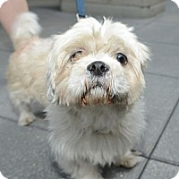 Adopt A Pet :: Beau - New York, NY