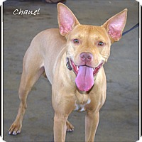 Adopt A Pet :: Chanel - Yuba City, CA