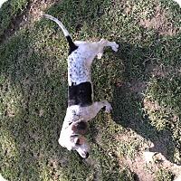 Kittery, ME - Basset Hound Mix. Meet Barney a Dog for ...