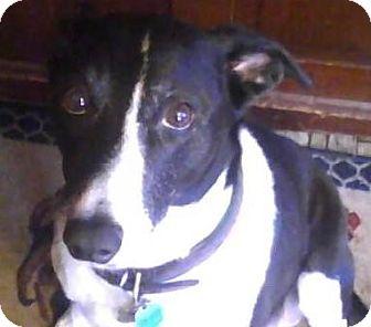 Border Collie/Italian Greyhound Mix Dog for adoption in Croton, New York - Joey