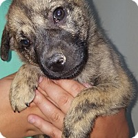 Adopt A Pet :: Samirah - Las Cruces, NM
