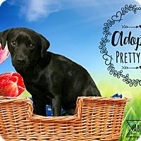 Adopt A Pet :: Short Stack - West Hartford, CT
