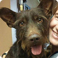Standard Schnauzer Mix Dog for adoption in Baltimore, Maryland - Watson - ON HOLD - NO MORE APPLICATIONS