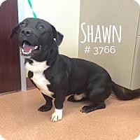 Corgi Mix Dog for adoption in Alvin, Texas - Shawn